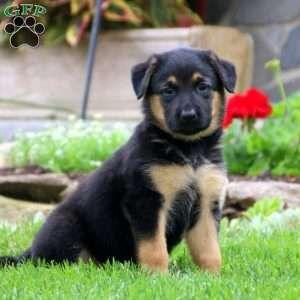 Sara German Shepherd Mix Puppy For Sale In Pennsylvania German