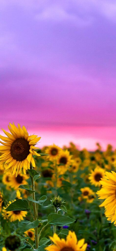 Sunflower Flowers Color Flora Wallpaper Iphone X Wallpaper Sunflower Iphone Wallpaper Sunset Iphone Wallpaper Color Wallpaper Iphone