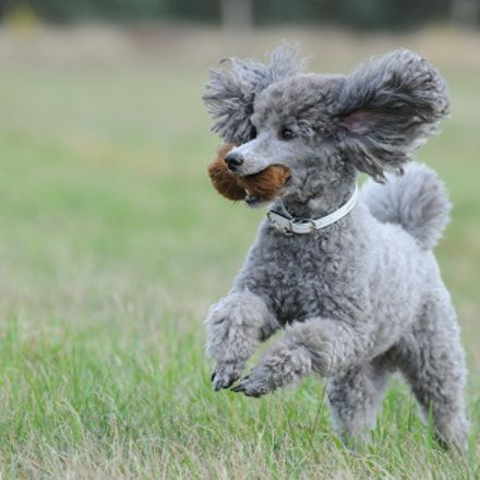 Dog Secrets The Fastest Way To Your Dream Poodle Pudel Poodle