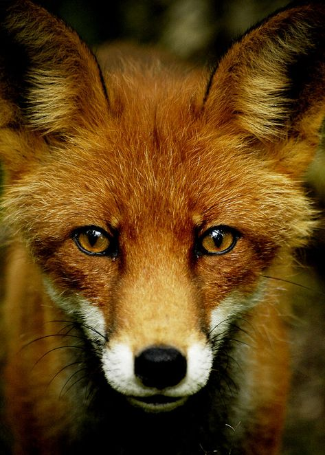 The Foxes are the most widespread breed, traveling in all directions. They are known as gypsies by the Vampires, and are generally tolerated if not particularly well-liked. As many of them lived in the East before the start of the War, more Foxes suffered from skinning than any other breed.