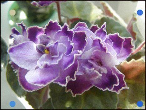 african violet LEAF RS JOCKER UKRAINIAN