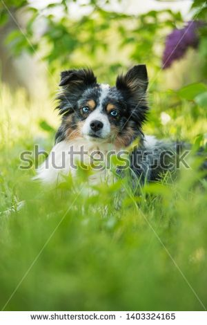 Stock Photo Miniatur Australian Shepherd Dog Lying Under A Lilac Bush Buy Pets Pets