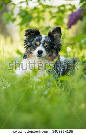 Stock Photo Miniatur Australian Shepherd Dog Lying Under A Lilac Bush Buy Pets Pets