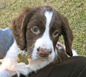 List of Pinterest spaniels puppies eyes images & spaniels