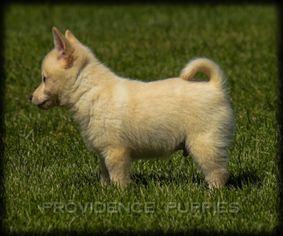 Cream Schipperke Puppies Puppies Schipperke Schipperke Puppies