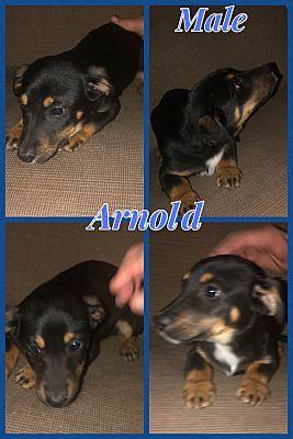Berkley Mi Dachshund Meet Arnold A Pet For Adoption Pet