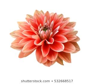Pink Dahlia Flower Isolated On White Background Dahlia Flower Dahlia Flowers