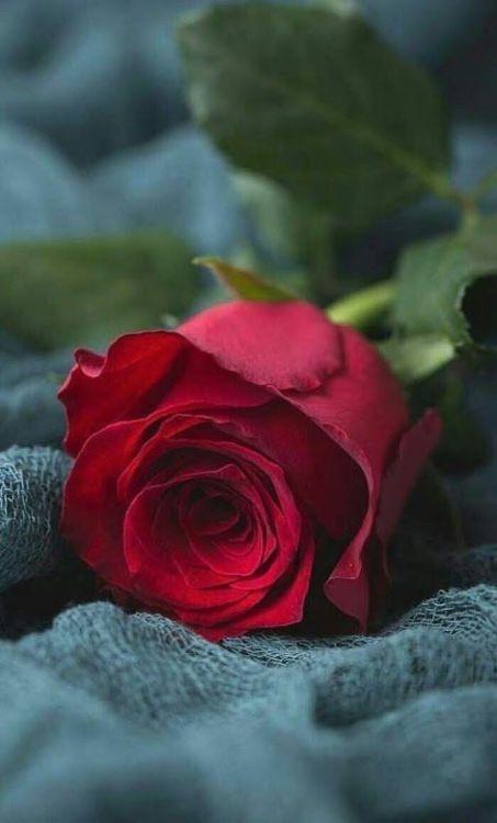 Good Morning My Love Beautiful Rose Flowers Beautiful Roses Beautiful Red Roses