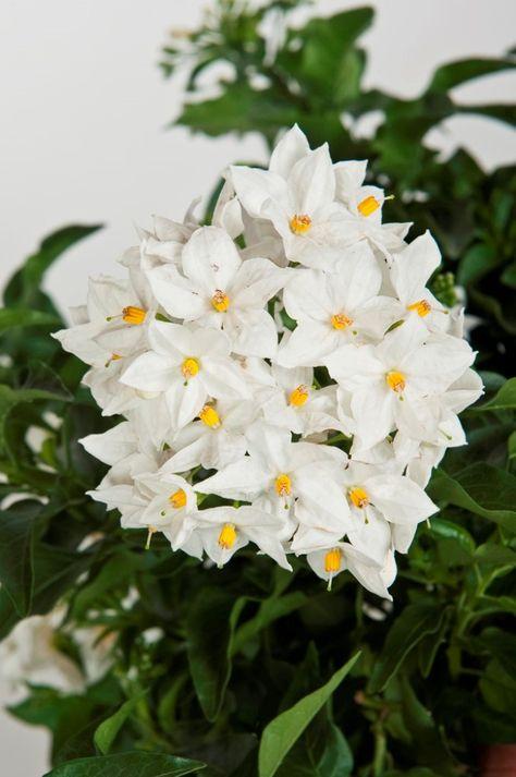 Fiori Bianchi Balcone.Solanum Jasminoides Fiori Bianchi Fiori E Fiori Da Balcone