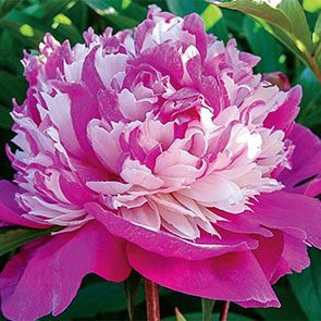 Celebrity Peony Part Shade Flowers Bulb Flowers Peonies Garden