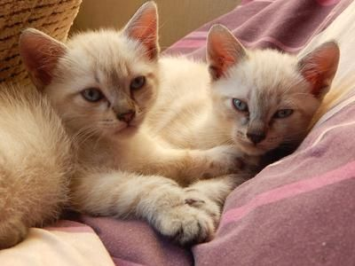 Mixed Siamese Kittens Siamese Kittens Kittens Cats And Kittens