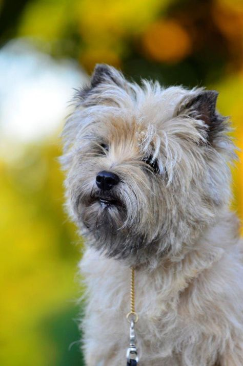 7 Facts We Bet You Didn T Know About The Cairn Terrier Terrier