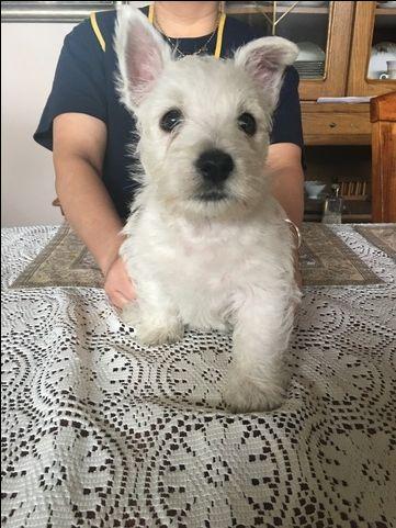 Litter Of 4 West Highland White Terrier Puppies For Sale In Fort Wayne In Adn 29537 On Puppyfinder Com G Westie Puppies For Sale White Terrier Westie Puppies
