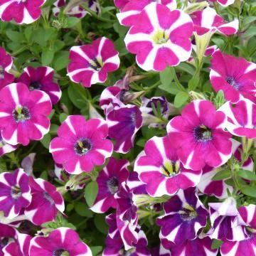 Gestreifte Petunie Petunien Blutenfarben Pflanzen