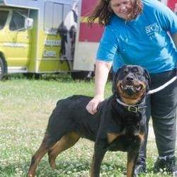 Philadelphia Pa Rottweiler Meet Dj A Dog For Adoption