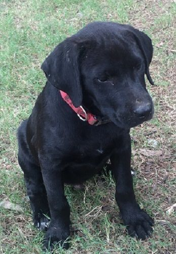 Meet Max 80 An Adorable 12 Week Old Black Lab Puppy Max Is A