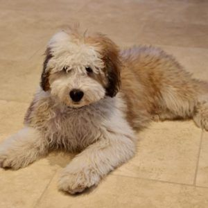 Teacup Goldendoodle Puppies Red Apricot Goldendoodle