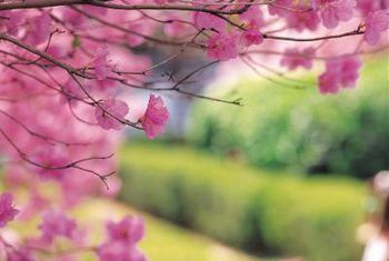 How To Prune A Flowering Cherry Hastags Pins Bestpins 2019 World Ornamental Cherry Weeping Cherry Tree Flowering Cherry Tree