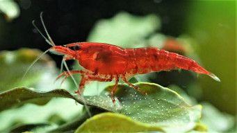 Male Cherry Shrimp Cherry Shrimp Red Cherry Shrimp Shrimp