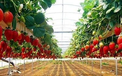 Wisata Kebun Stroberi