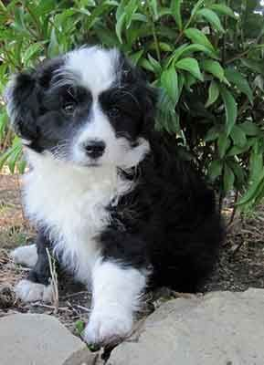 Is The Bordoodle The Smart Family Dog People Hope For Bordoodle Collie Poodle Mix Border Collie Poodle Mix