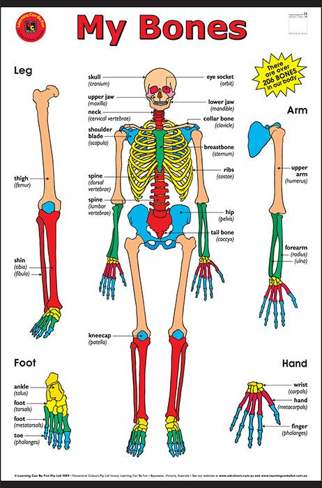 My Bones Chart Learning Can Be Fun Help Students Learn The Basic Bone Structure Of Their Body This Large Wa Body Bones Human Body Anatomy Human Body Bones
