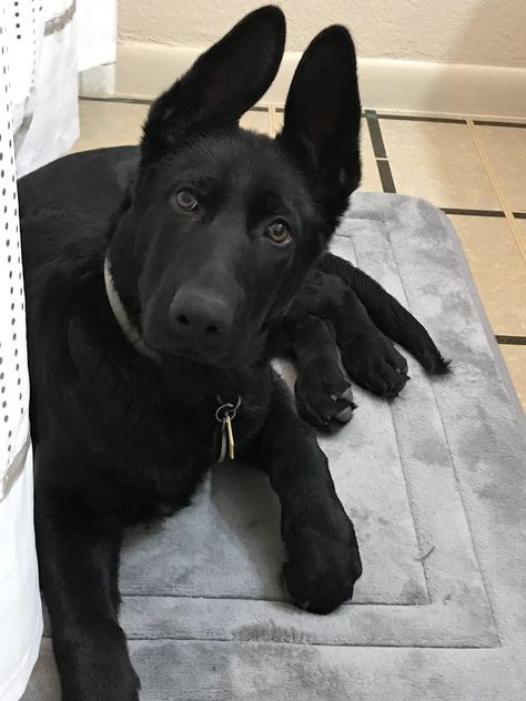 Hi Reddit! Meet Dexter. #dogpics #dogs #dog #dogsoftwitter #fun #doglovers #puppy Cute Puppies, Cute Dogs, Dogs And Puppies, Dog Photos, Dog Pictures, Belgian Malinois Dog, St Kitts, German Shepherd Puppies, German Shepherds