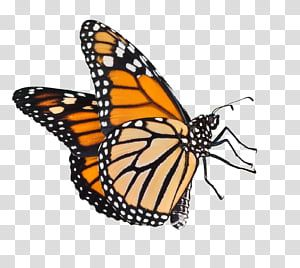 Butterfly Male Monarch Butterfly Transparent Background Png Clipart Butterfly Background Butterfly Black And White Transparent Background
