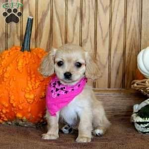 Sadie Cavachon Puppy For Sale In Pennsylvania Cavachon Puppies Cavachon Puppies For Sale