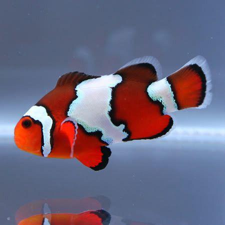 Featured Fish On Sale This Week Saltwater Aquarium Fish Saltwater Fish Tanks Clown Fish