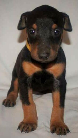 Litter Of 9 Doberman Pinscher Puppies For Sale In Hemet Ca Adn