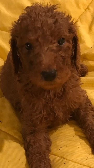Litter Of 9 Poodle Standard Puppies For Sale In West Bloomfield