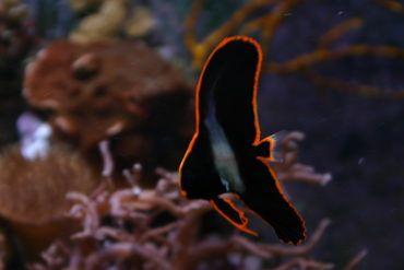 New Discovery Key To Keeping Pinnatus Batfish Batfish Saltwater Aquarium Fish Marine Aquarium