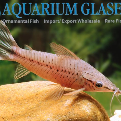 Paracanthocobitis Rubidipinnis Aquarium Glaser Gmbh Rare Fish Fish Pet Fish