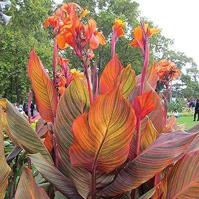 Tropicanna Canna Lily Canna Lilien Lily Tropicanna In 2020 Tropische Landschaftsgestaltung Tropische Zimmerpflanzen Mehrjahrige Pflanzen