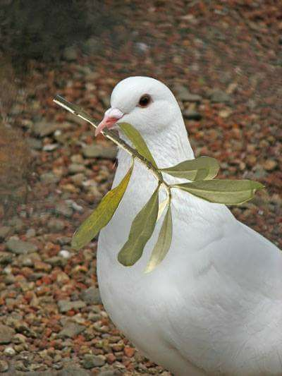 Pin By Diva Cordeiro On When The Doves Fly Animals Beautiful Pigeon Pictures Beautiful Birds