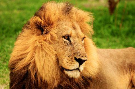 Male lion is Botswana