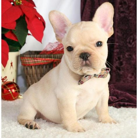 Affordable French Bulldog Puppies For Sale Near Ne Bulldog Puppies Puppy Adoption French Bulldog Puppies