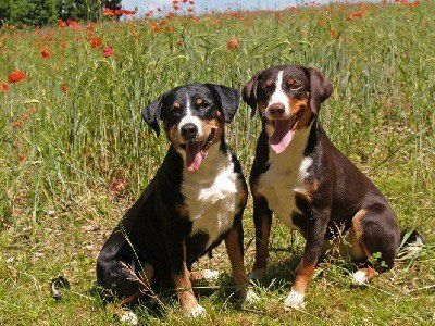 Appenzeller Sennenhunde Dog Breed Information Popular Pictures In 2020 Dog Breeds Medium Dog Breeds Appenzeller Dog