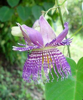 Passiflora S Image By Michelle H Plants Garden