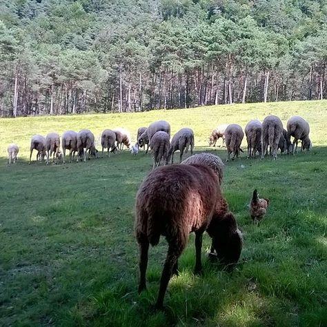 【keikoinoue.locatelli】さんのInstagramをピンしています。 《Una pecora nera 💚 -Italy  黒羊見つけた~💚 #italy #mountain  #trekking #hiking  #trentino #fattoria  #animali #pecora #pecora_nera  #instagood #instalove  #instacool #instanature #insta_nature_macro  #insta_nature_photography #tree #forest #caino #traveltrentino #outdoor  #黒羊 #動物 #家畜 #山 #森 #山歩き #写真撮っている人と繋がりたい  #写真好きな人と繋がりたい  #山好きな人と繋がりたい》