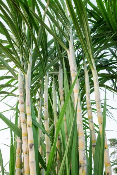 Sugarcane Pruning Guide Does Sugarcane Need To Be Pruned Sugar Cane Plant Trees To Plant Plants