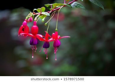 Close Up Fuchsia Flowers In The Garden Background Beautiful Beauty Bloom Background Beautiful Beauty In 2020 Fuchsia Flowers Fuchsia Garden Flower Garden