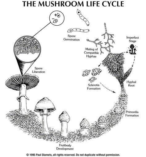 62 Biology Fungi Ideas In 2021 Fungi Stuffed Mushrooms Mushroom Fungi