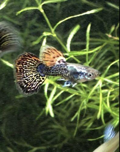 2 Adult Pairs Dragon Mosaic Guppies Ausgefallener Guppy