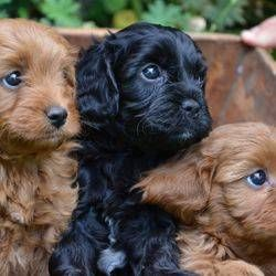 Cavoodle Puppies For Sale In Bairnsdale Vic Cavoodle Puppies Puppies Puppies For Sale Pets