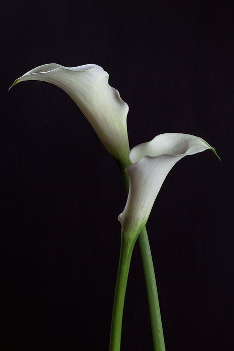 Two White Calla Lilies By Cristina Velina Ion Calla Lily Calla Lily