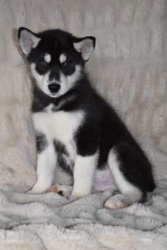 Litter Of 8 Siberian Husky Puppies For Sale In Mound City Ks Adn