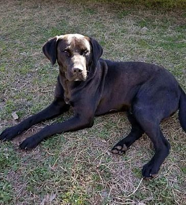 Pictures Of Bowen Lonestar A Labrador Retriever For Adoption In