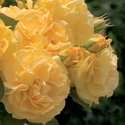 Soul Mate :- Old fashion blooms in lemon tones of butter gold, topped off with a licorice spice fragrance.